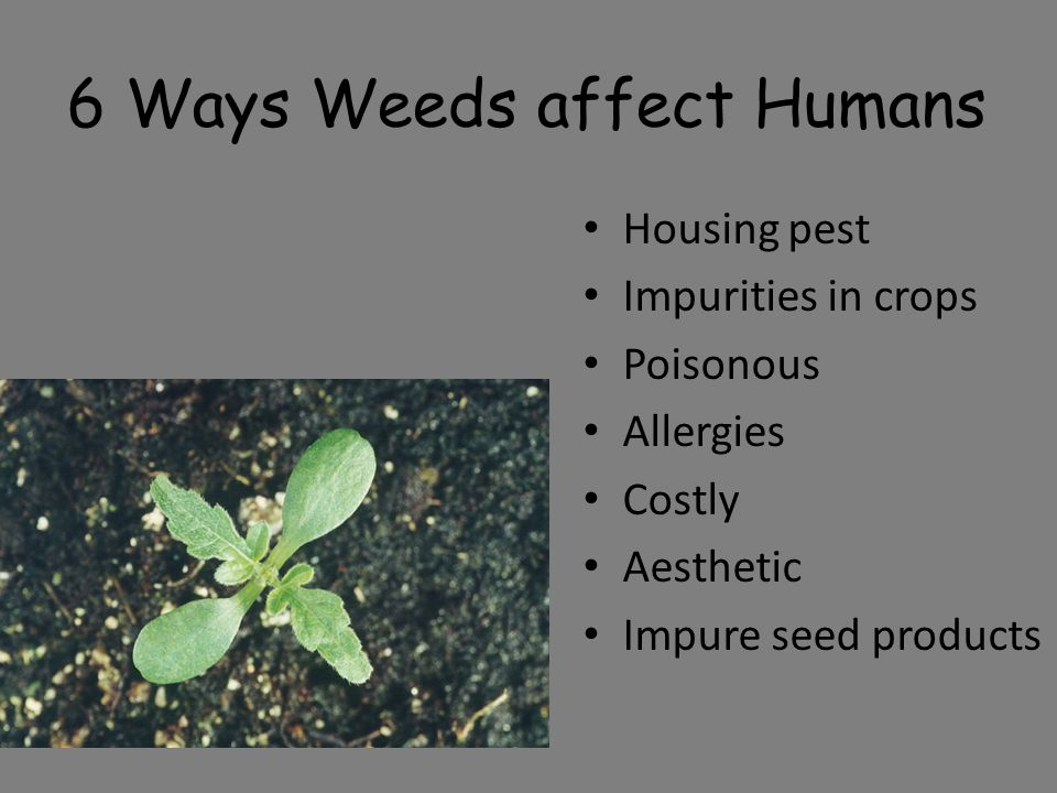 6 Ways Weeds affect Humans Housing pest Impurities in crops Poisonous Allergies Costly Aesthetic Impure seed products
