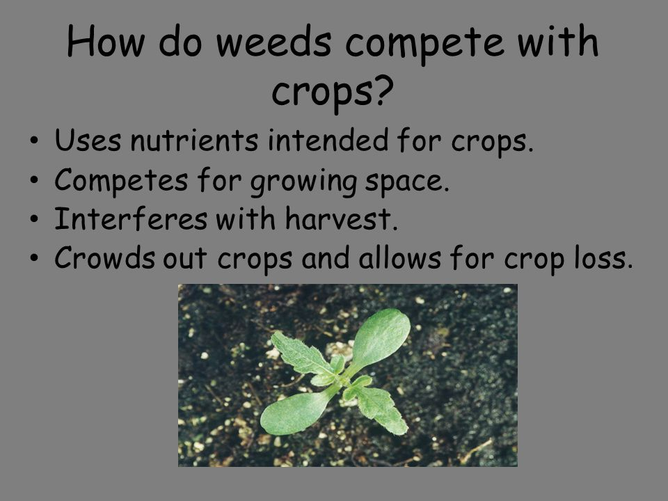 Review Define weed The effects of competition on the crop or yields The effects of weeds on humans and livestock The aesthetic effects of weeds in home yards and public areas The economic effects on crop yields.