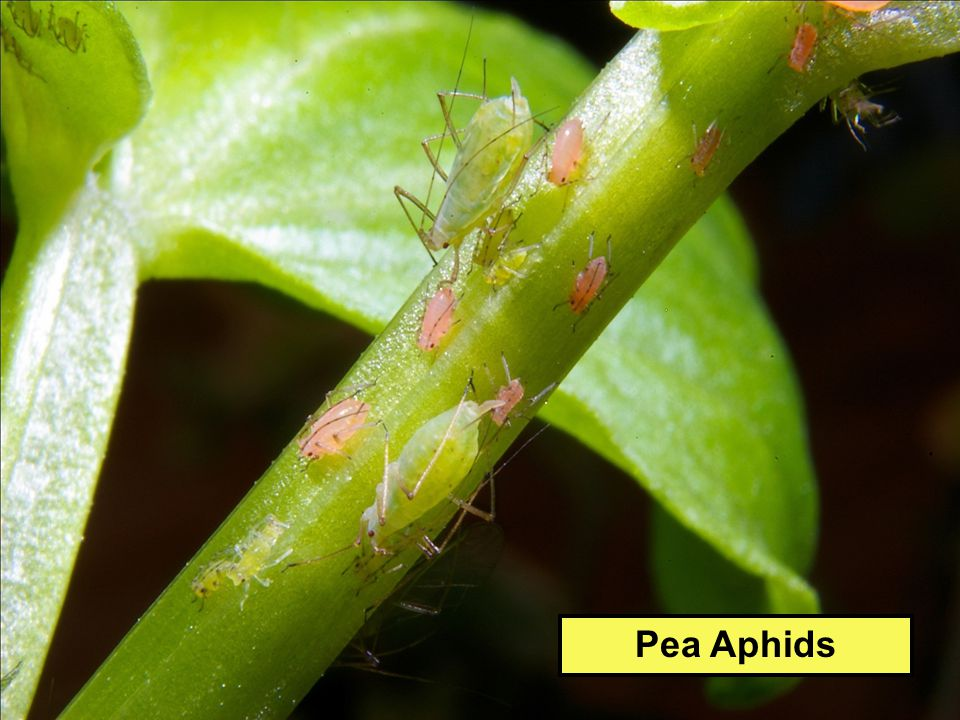 Pea Aphids