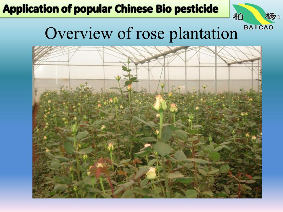 Overview of rose plantation