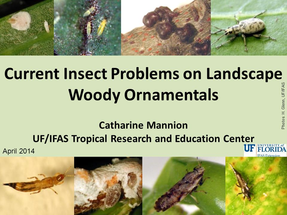 Current Insect Problems on Landscape Woody Ornamentals Catharine Mannion UF/IFAS Tropical Research and Education Center April 2014 Photos: H. Glenn, U