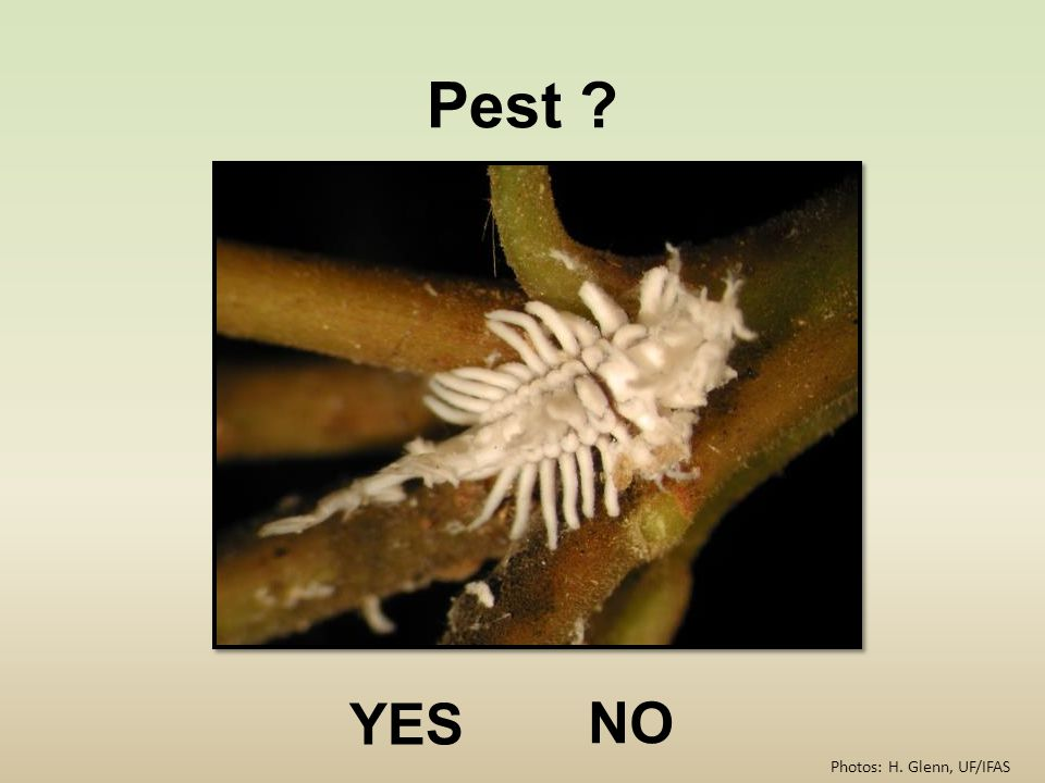 Pest YES NO Photos: H. Glenn, UF/IFAS