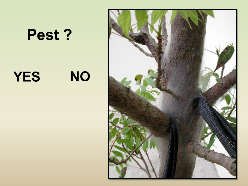 Pest ? YES NO