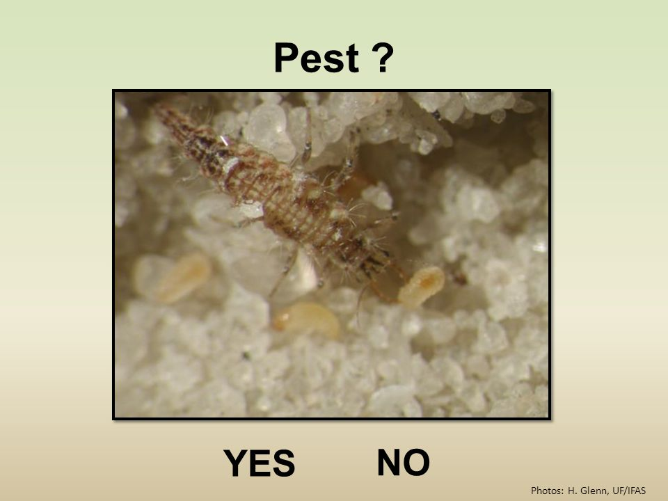 Pest ? YES NO Photos: H. Glenn, UF/IFAS
