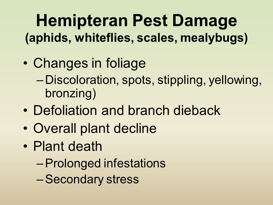 Hemipteran Pest Damage (aphids, whiteflies, scales, mealybugs) Changes in foliage –Discoloration, spots, stippling, yellowing, bronzing) Defoliation and branch dieback Overall plant decline Plant death –Prolonged infestations –Secondary stress