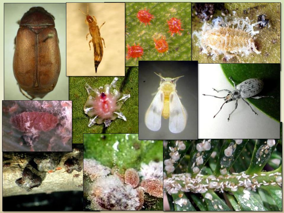Invasive Pests are one of our biggest pest problems Due to mild climate and diversity of plants, new insects become easily established Approximately 1-2 new pests introduced each month
