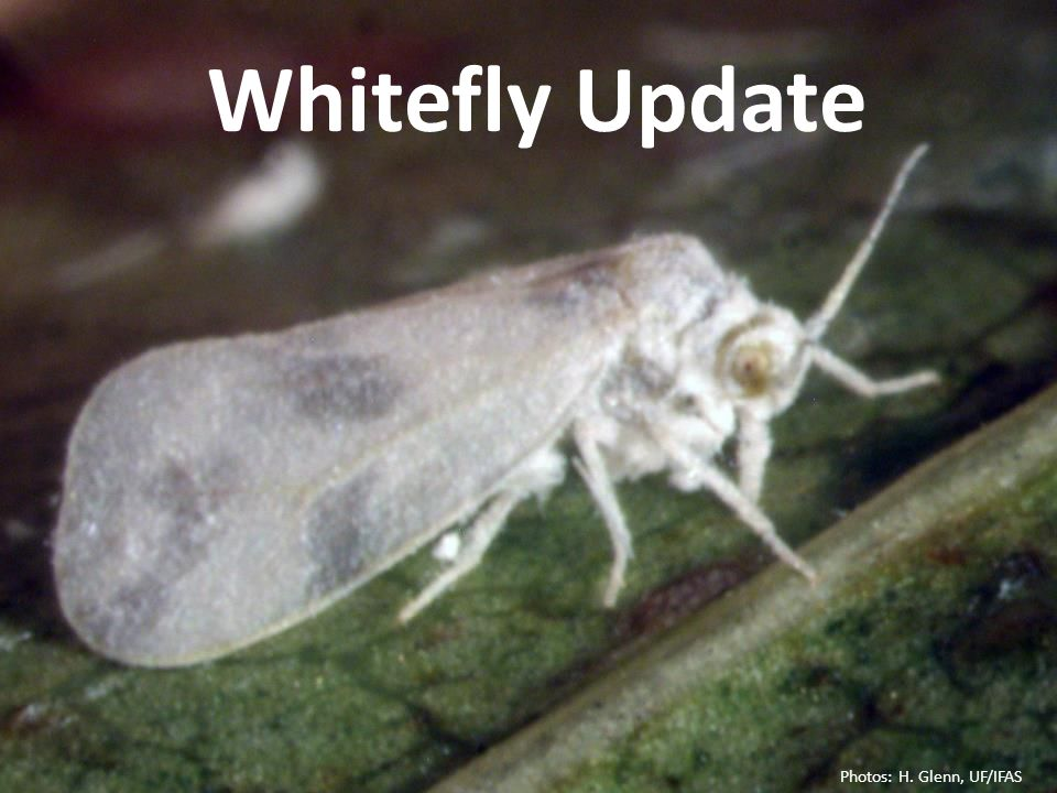 Whitefly Update Photos: H. Glenn, UF/IFAS