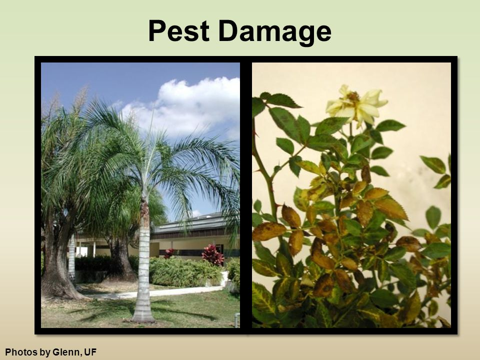Pest Damage Photos by Glenn, UF