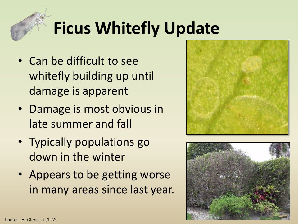 Ficus Whitefly Update Can be difficult to see whitefly building up until damage is apparent Damage is most obvious in late summer and fall Typically p