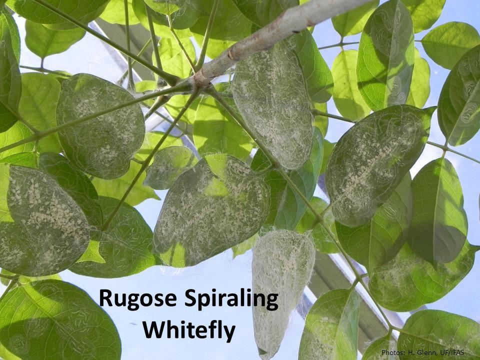 Rugose Spiraling Whitefly Photos: H. Glenn, UF/IFAS