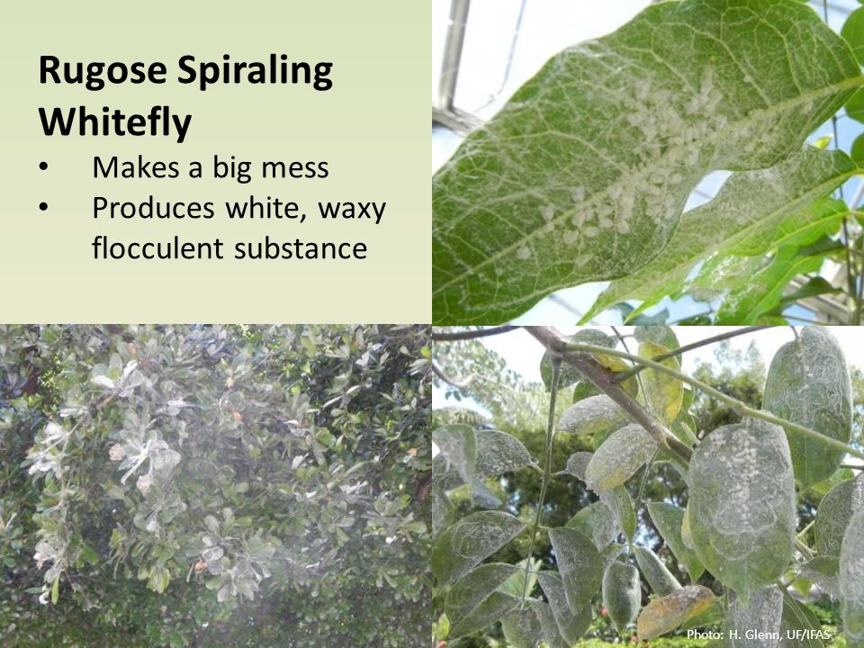 Rugose Spiraling Whitefly Makes a big mess Produces white, waxy flocculent substance Photo: H. Glenn, UF/IFAS