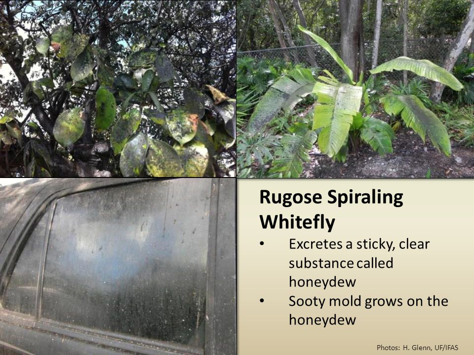 Rugose Spiraling Whitefly Excretes a sticky, clear substance called honeydew Sooty mold grows on the honeydew Photos: H.