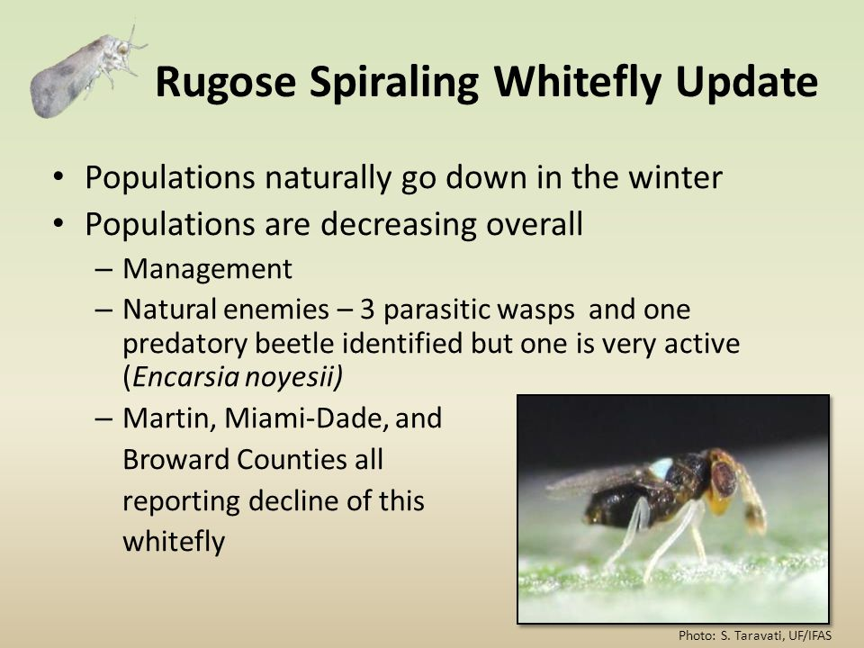 Rugose Spiraling Whitefly Update Populations naturally go down in the winter Populations are decreasing overall – Management – Natural enemies – 3 par