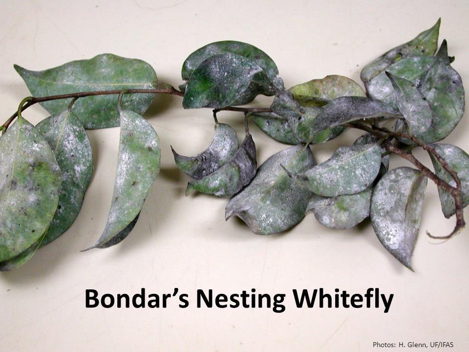 Bondar's Nesting Whitefly Photos: H. Glenn, UF/IFAS