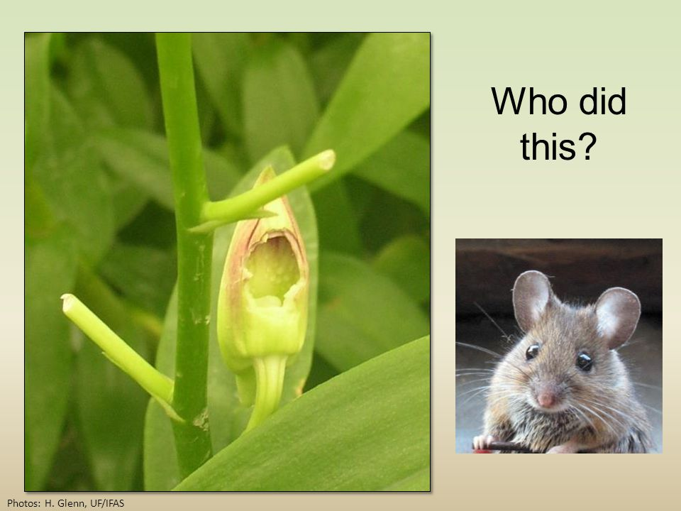 Who did this Photos: H. Glenn, UF/IFAS