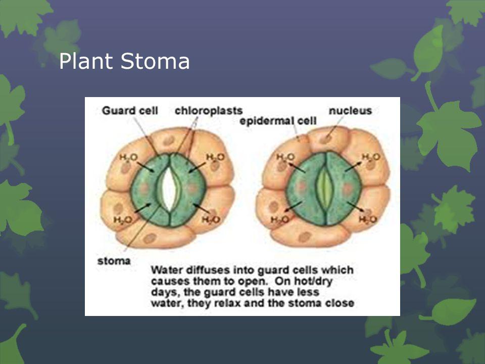Plant Stoma