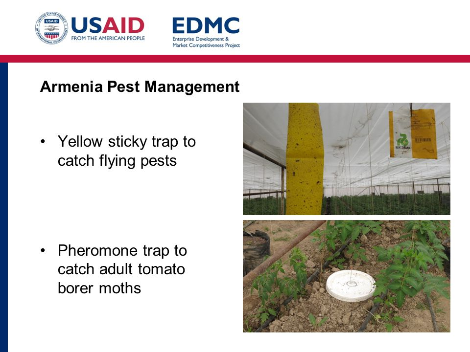 Armenia Pest Management Yellow sticky trap to catch flying pests Pheromone trap to catch adult tomato borer moths