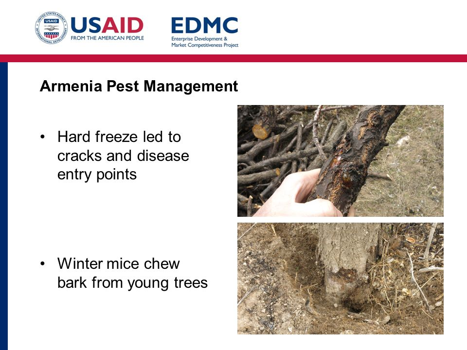 Armenia Pest Management Hard freeze led to cracks and disease entry points Winter mice chew bark from young trees