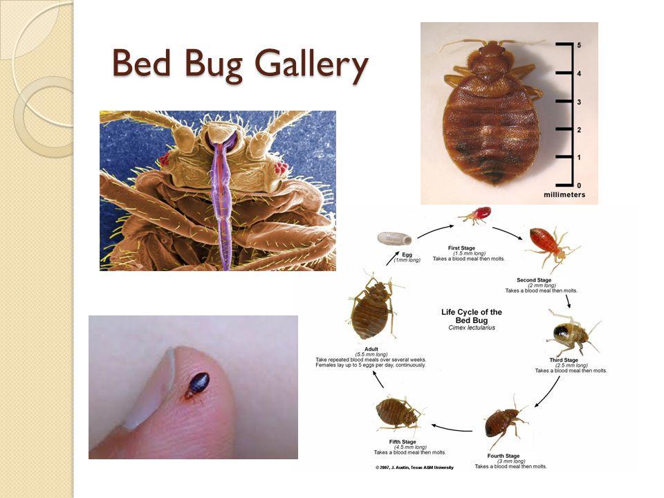 Bed Bug Gallery