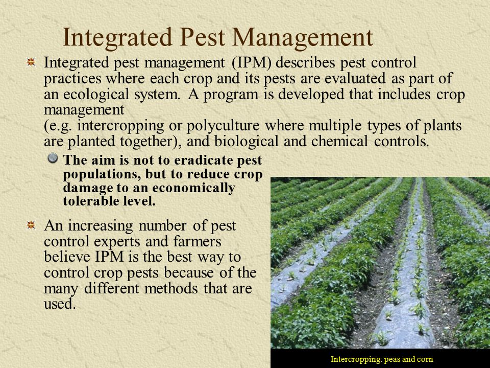 Integrated Pest Management Intercropping: peas and corn Integrated pest management (IPM) describes pest control practices where each crop and its pest