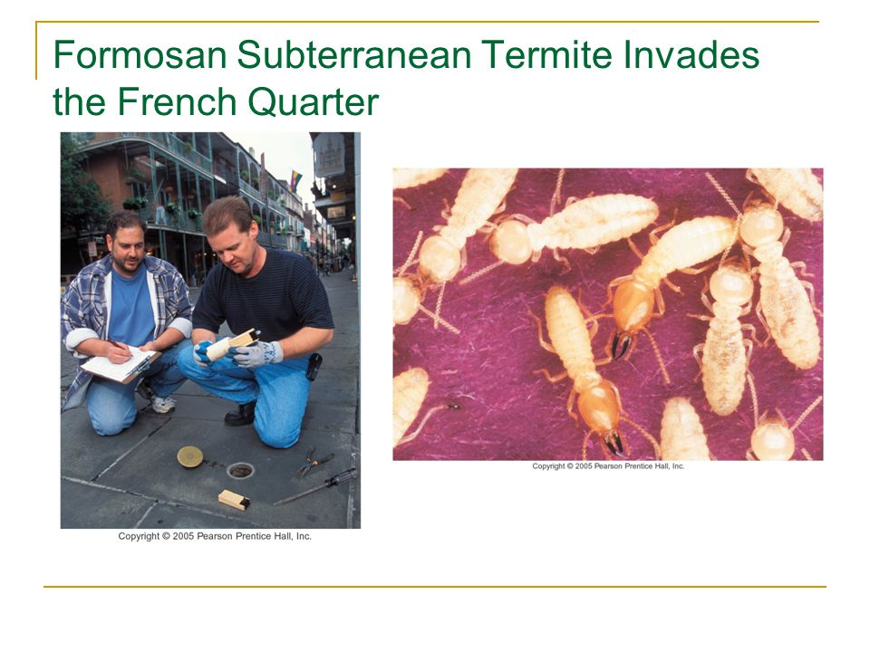 Formosan Subterranean Termite Invades the French Quarter