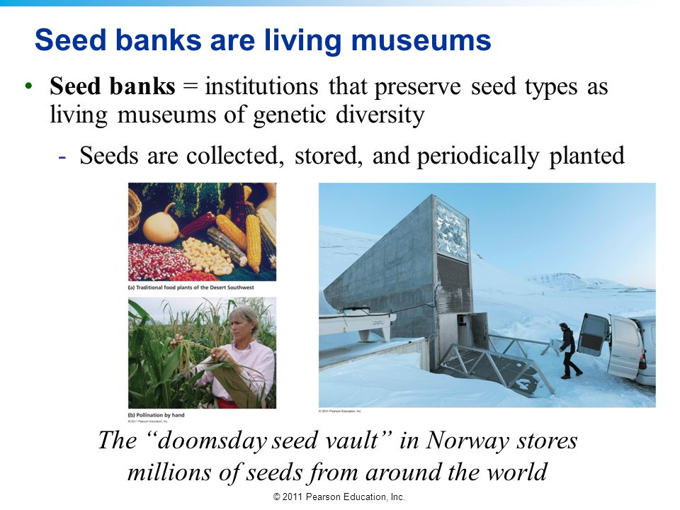 © 2011 Pearson Education, Inc. Seed banks are living museums Seed banks = institutions that preserve seed types as living museums of genetic diversity