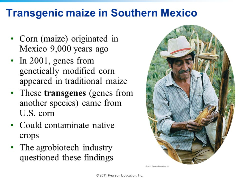 © 2011 Pearson Education, Inc. Transgenic maize in Southern Mexico Corn (maize) originated in Mexico 9,000 years ago In 2001, genes from genetically m