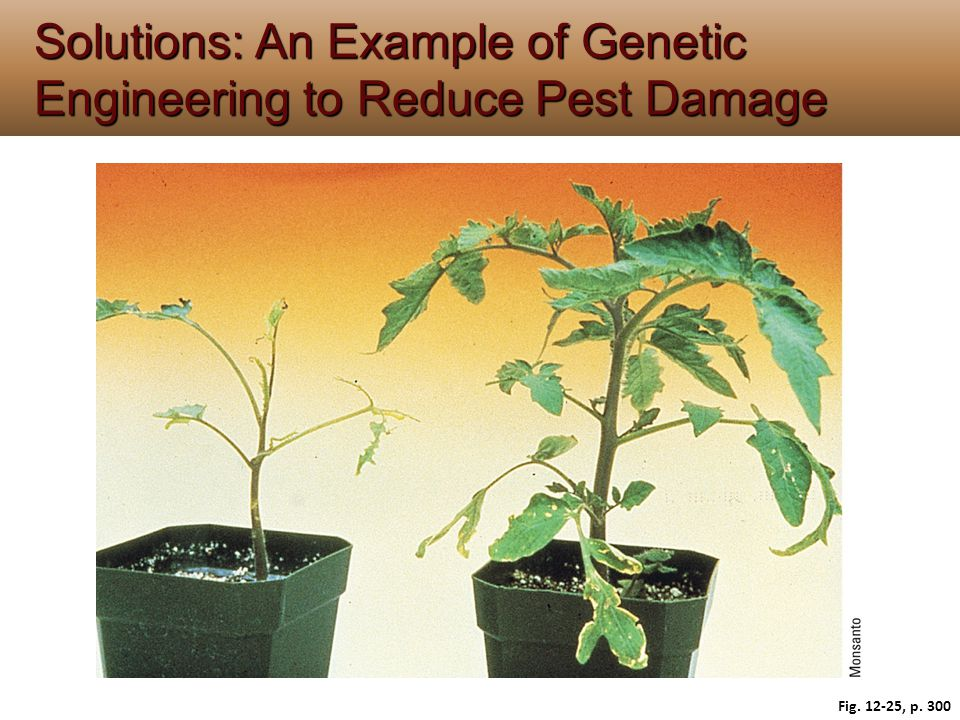Solutions: An Example of Genetic Engineering to Reduce Pest Damage Fig. 12-25, p. 300