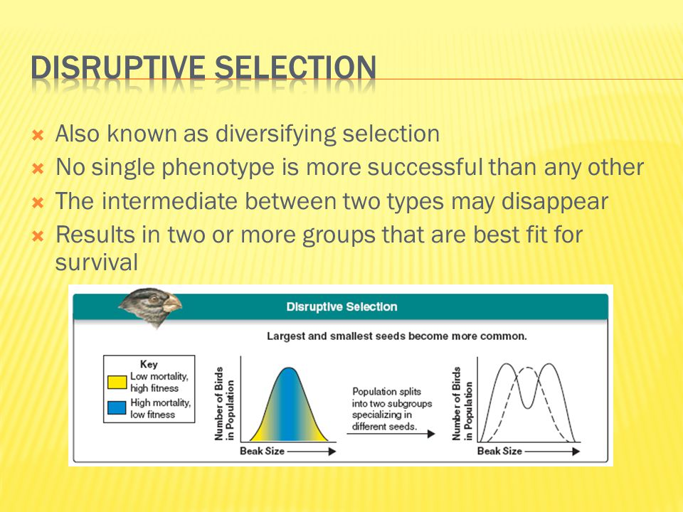  Also known as diversifying selection  No single phenotype is more successful than any other  The intermediate between two types may disappear  Re
