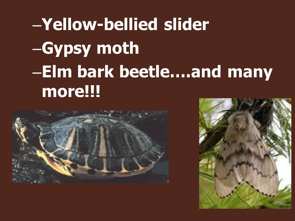 – Yellow-bellied slider – Gypsy moth – Elm bark beetle….and many more!!!