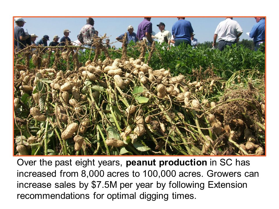 Over the past eight years, peanut production in SC has increased from 8,000 acres to 100,000 acres.