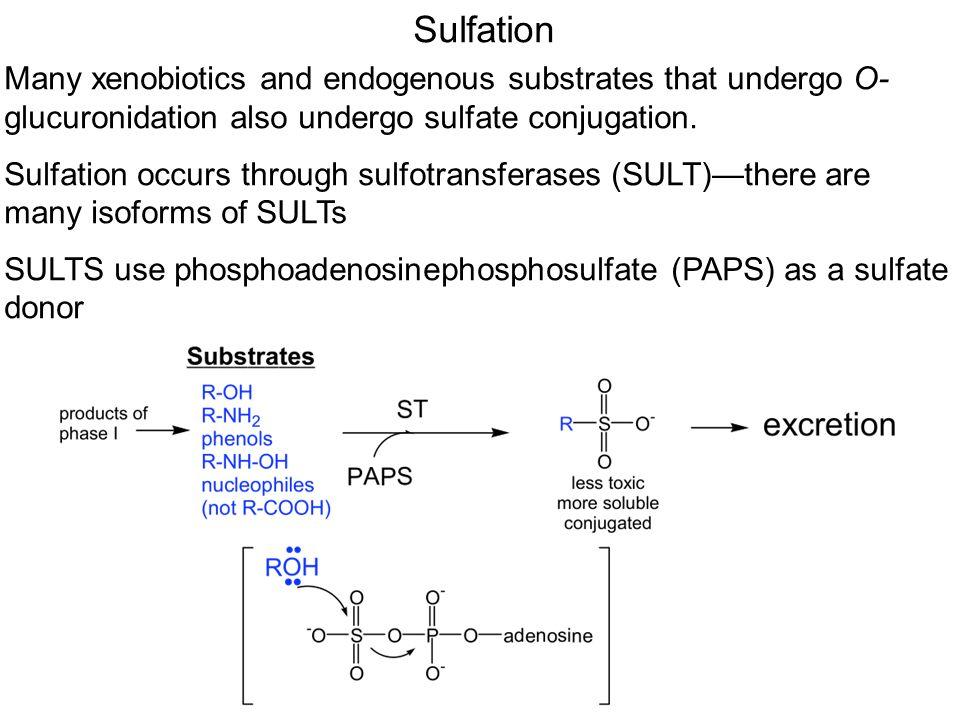 Sulfation Many xenobiotics and endogenous substrates that undergo O- glucuronidation also undergo sulfate conjugation.