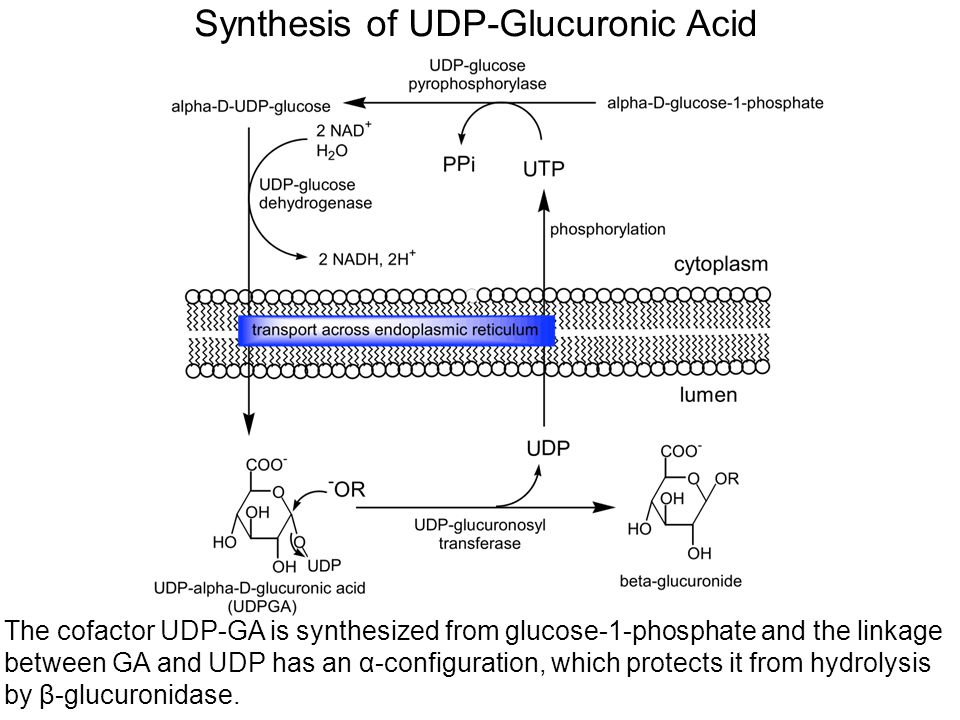 Synthesis of UDP-Glucuronic Acid The cofactor UDP-GA is synthesized from glucose-1-phosphate and the linkage between GA and UDP has an α-configuration, which protects it from hydrolysis by β-glucuronidase.