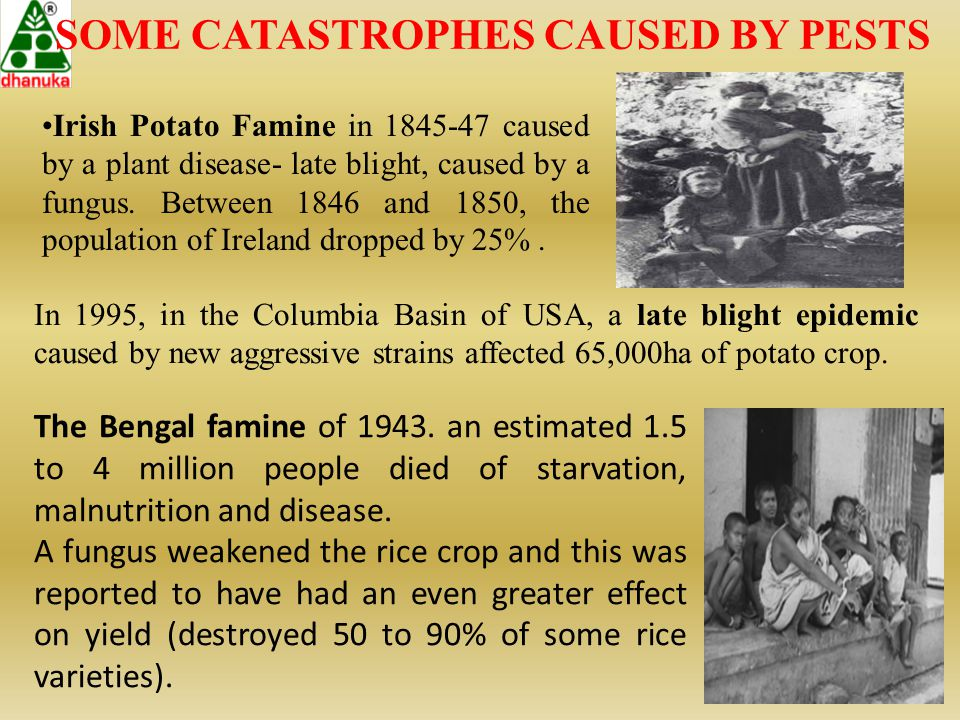 SOME CATASTROPHES CAUSED BY PESTS Irish Potato Famine in 1845-47 caused by a plant disease- late blight, caused by a fungus. Between 1846 and 1850, th