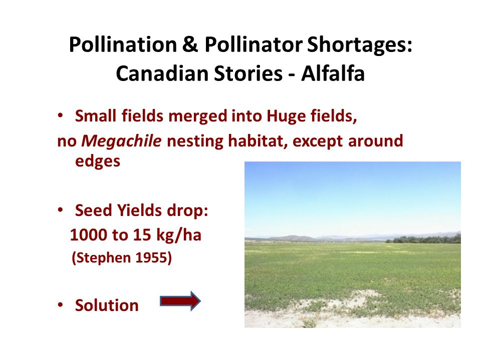 Pollination & Pollinator Shortages: Canadian Stories - Alfalfa Small fields merged into Huge fields, no Megachile nesting habitat, except around edges Seed Yields drop: 1000 to 15 kg/ha (Stephen 1955) Solution