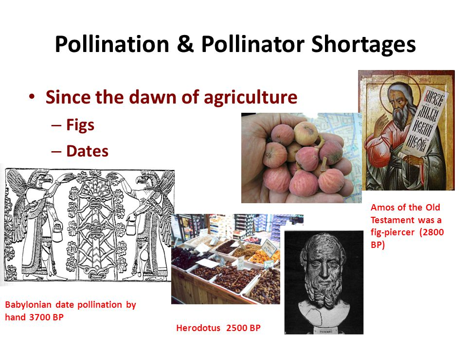 Pollination & Pollinator Shortages Since the dawn of agriculture – Figs – Dates Amos of the Old Testament was a fig-piercer (2800 BP) Herodotus 2500 BP Babylonian date pollination by hand 3700 BP