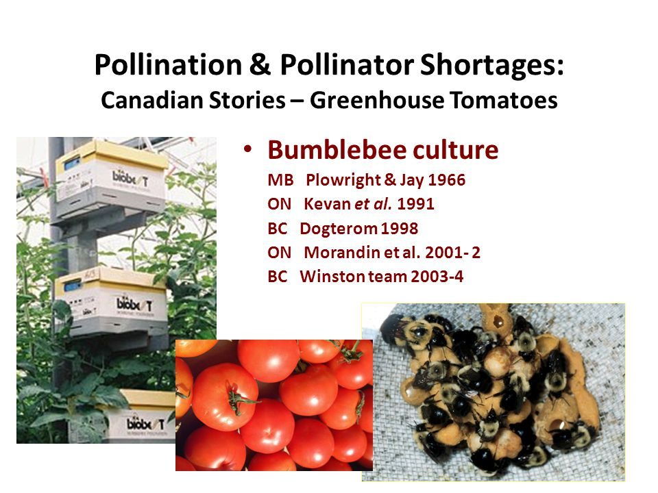 Pollination & Pollinator Shortages: Canadian Stories – Greenhouse Tomatoes Bumblebee culture MB Plowright & Jay 1966 ON Kevan et al.