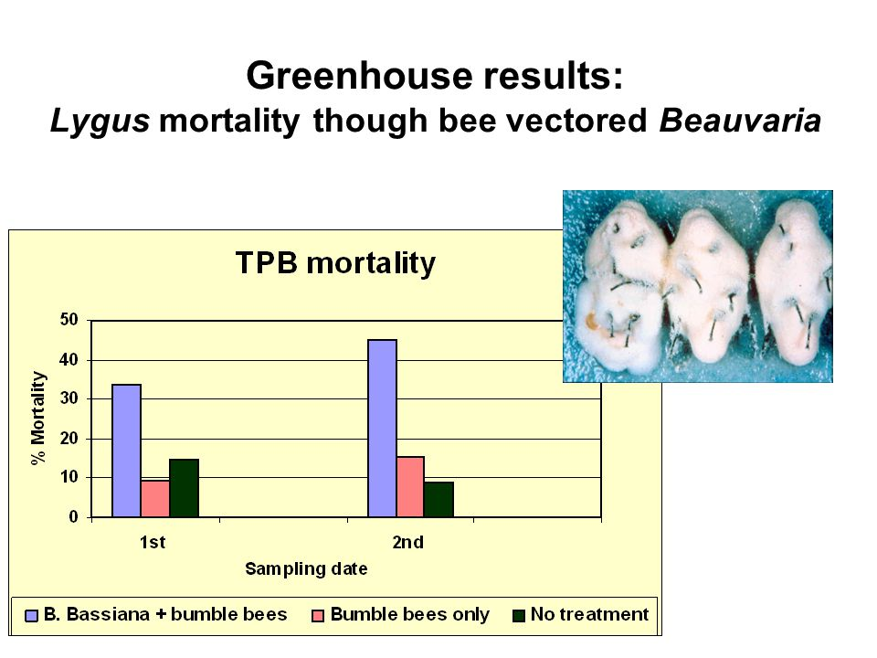 Greenhouse results: Lygus mortality though bee vectored Beauvaria