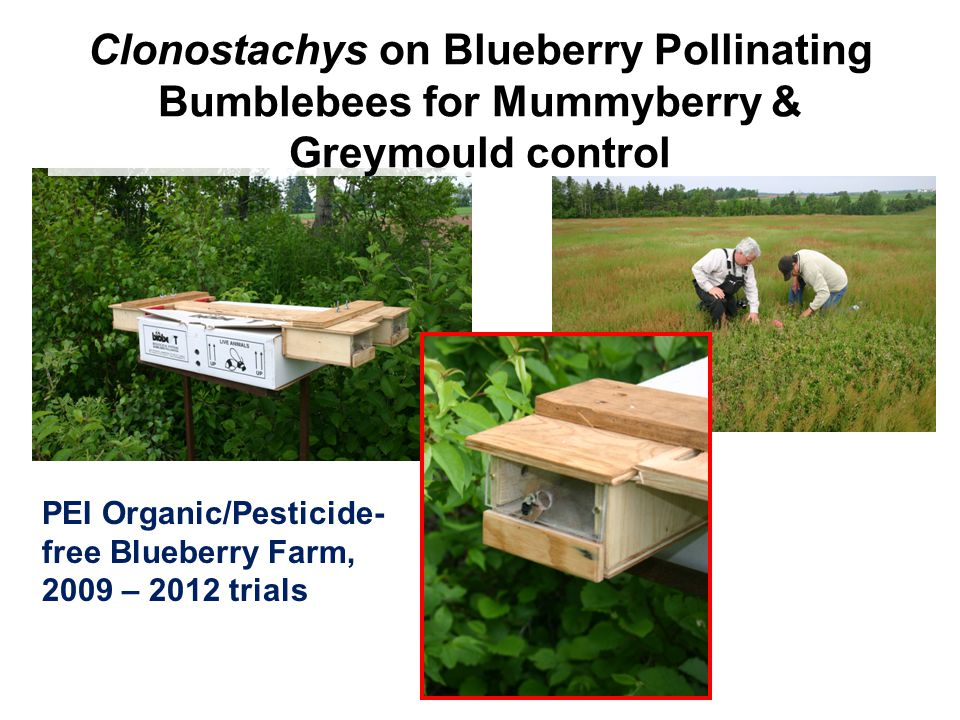 Clonostachys on Blueberry Pollinating Bumblebees for Mummyberry & Greymould control PEI Organic/Pesticide- free Blueberry Farm, 2009 – 2012 trials