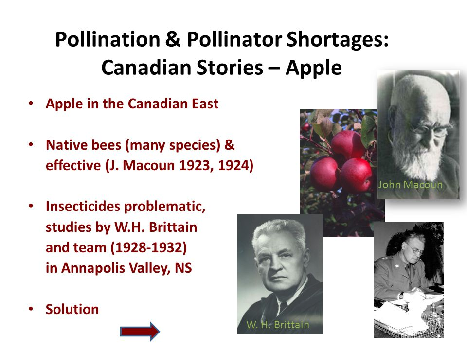 Pollination & Pollinator Shortages: Canadian Stories – Apple Apple in the Canadian East Native bees (many species) & effective (J.