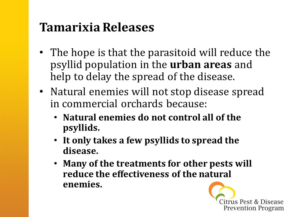 Tamarixia Releases The hope is that the parasitoid will reduce the psyllid population in the urban areas and help to delay the spread of the disease.