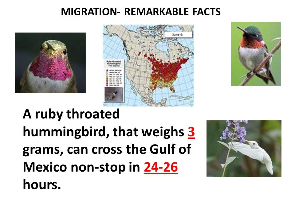 HUMAN OBSTACLES TO MIGRATION  Tall glass windowed buildings result in bird deaths ranging from 100 million to 1 billion per year.