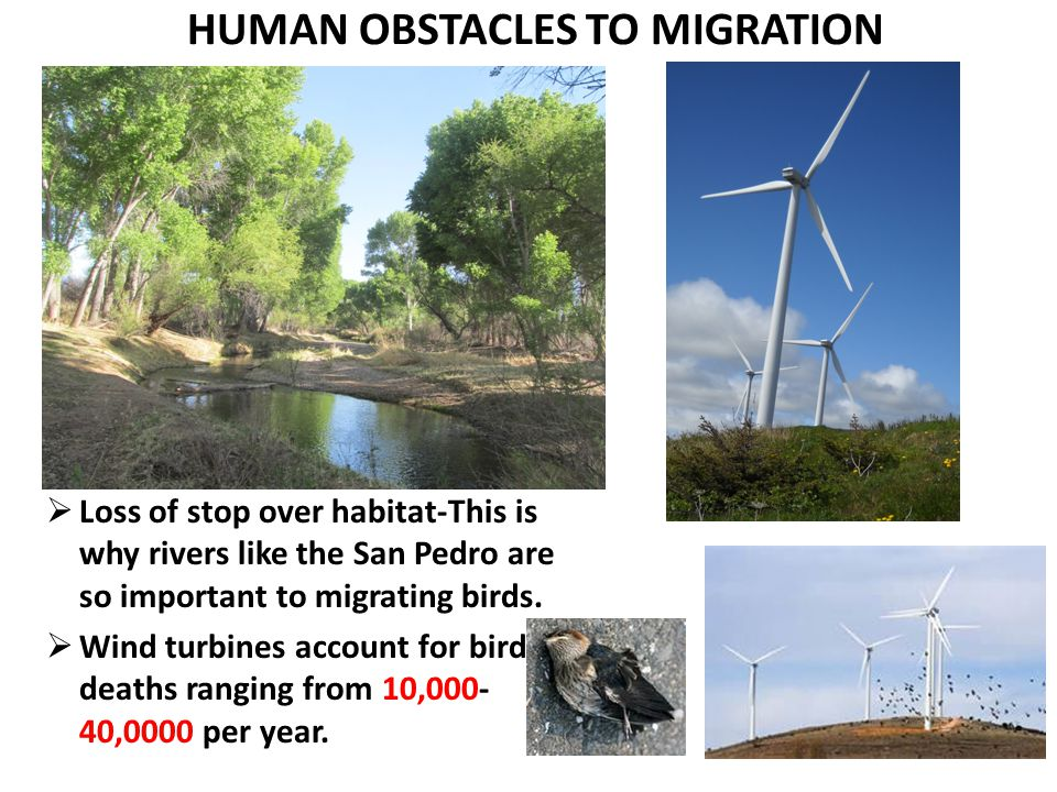 HUMAN OBSTACLES TO MIGRATION  Loss of stop over habitat-This is why rivers like the San Pedro are so important to migrating birds.