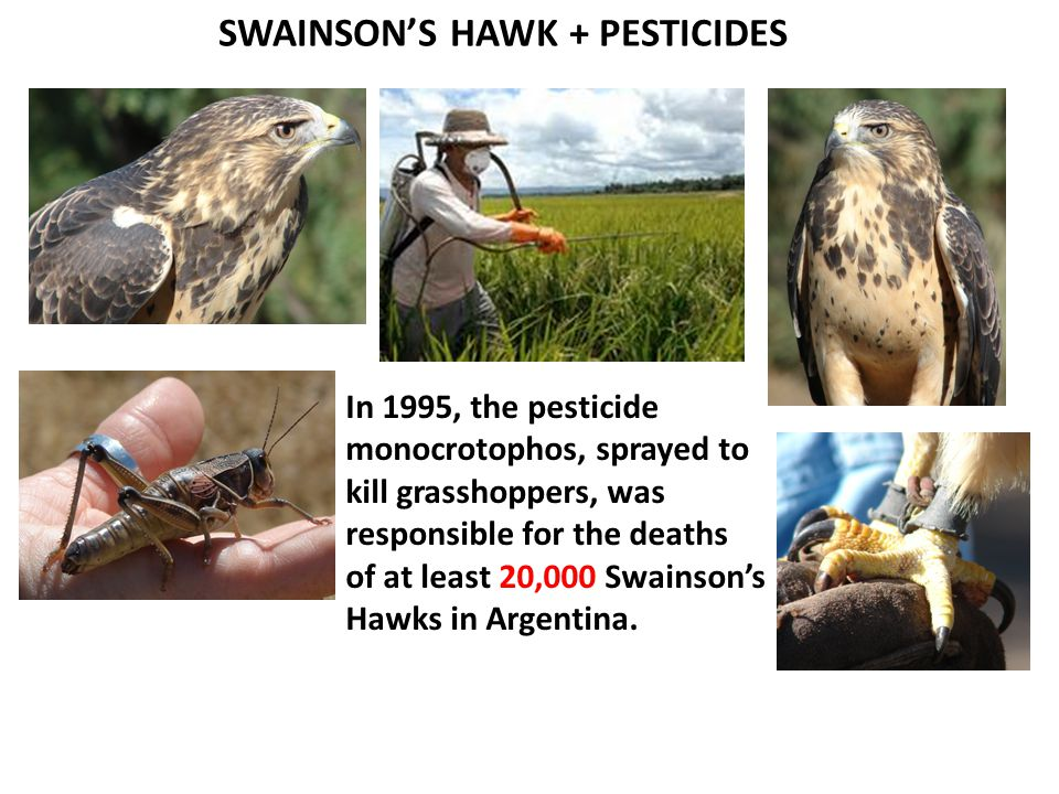 SWAINSON'S HAWK + PESTICIDES In 1995, the pesticide monocrotophos, sprayed to kill grasshoppers, was responsible for the deaths of at least 20,000 Swainson's Hawks in Argentina.