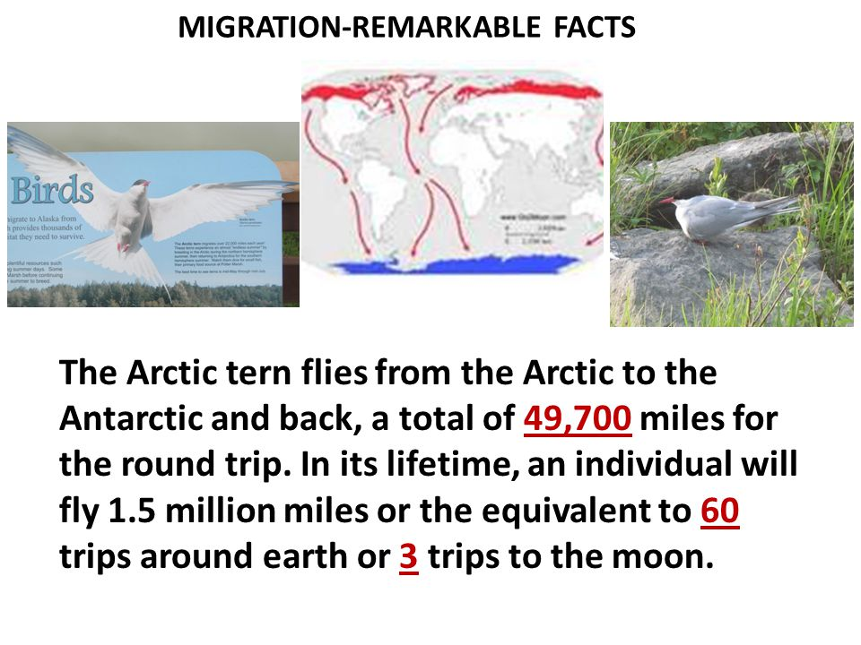 MIGRATION-REMARKABLE FACTS The Arctic tern flies from the Arctic to the Antarctic and back, a total of 49,700 miles for the round trip.