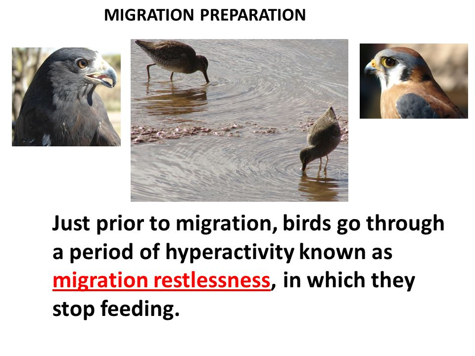 PHYSIOLOGY OF MIGRATION 2.