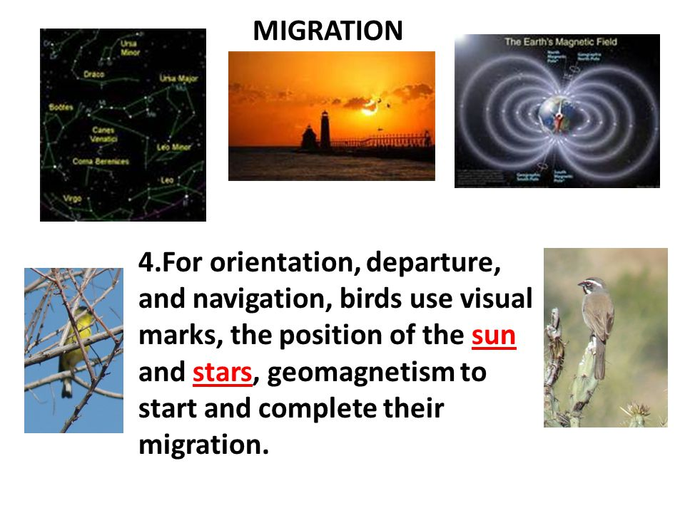 MIGRATION  Birds use their sun compass, an internal clock which indicates the position of the sun in relationship to time.