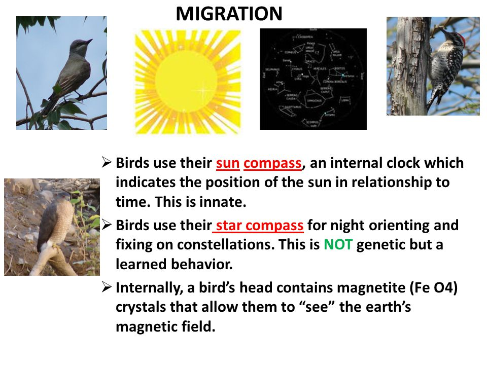 MIGRATION  Birds use their sun compass, an internal clock which indicates the position of the sun in relationship to time.