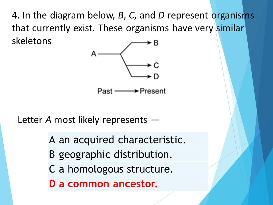 A an acquired characteristic. B geographic distribution. C a homologous structure. D a common ancestor. 4. In the diagram below, B, C, and D represent