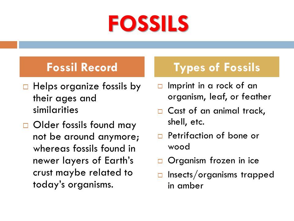 FOSSILS  Helps organize fossils by their ages and similarities  Older fossils found may not be around anymore; whereas fossils found in newer layers